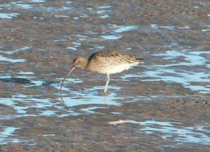 Curlew Bird seen from Sandown Holiday Flats Bay Window in Morecambe